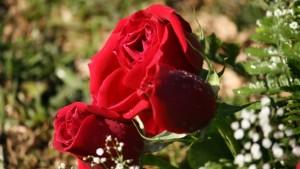 Los-tipos-de-rosas-mas-comunes-1